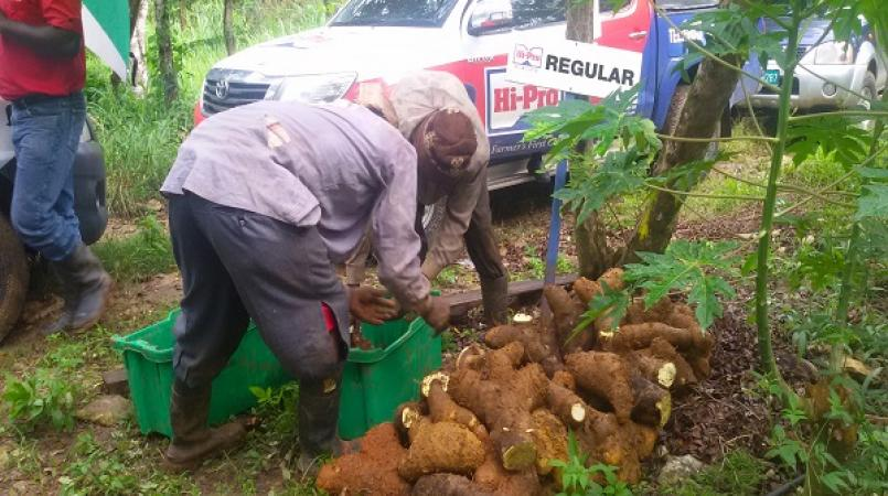 Yam farmers to benefit from increased yields with Hi-Pro's new yam